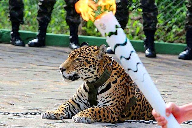 Son bir ay içerisinde öldürülen hayvanlara göz atalım: Brezilya'da olimpiyat kutlamaları dahilinde öldürülen nesli tükenmekte olan Jaguar...
