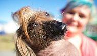 """Tam 28 Yıldır Tekrarlanan """"Dünyanın En Çirkin Köpeği"""" Yarışmasından Haberiniz Var mı?"""