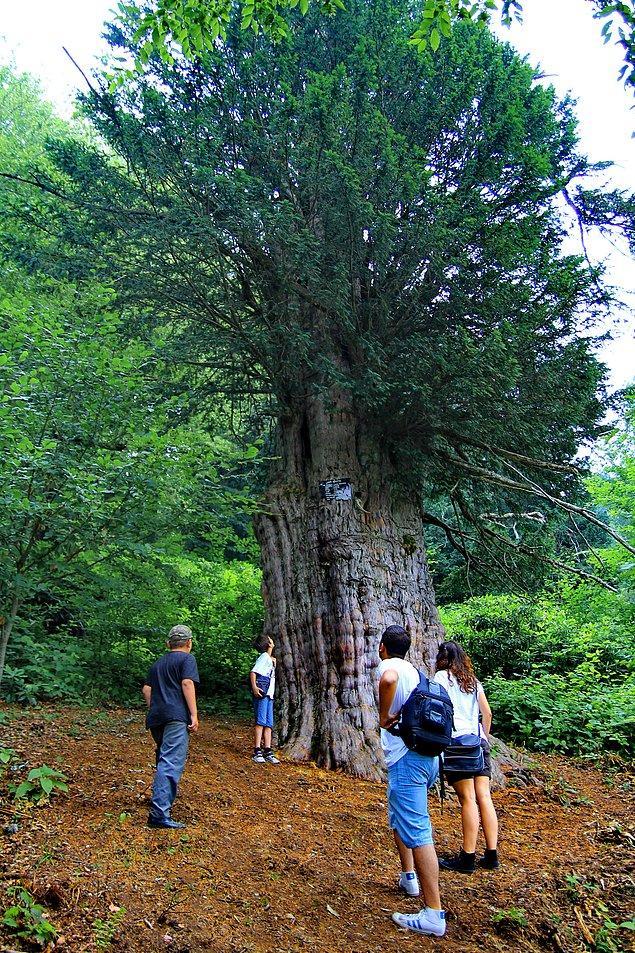 8. 4112 Yaşındaki Porsuk Ağacı / Gümeli / Zonguldak