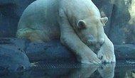 Kutup Ayısı Arturo, 30 Mutsuz Yılın Ardından Hayvanat Bahçesinde Delirerek Öldü...