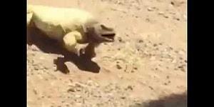 Ящерица, изнывающая от жары в пустыне, нашла спасительную тень!