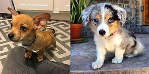 Kısa Bacaklı Corgilerin Diğer Köpek Türleriyle Karışımından Ortaya Çıkan 16 Minnoş