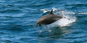 Karadeniz Kıyılarına Rekor Sayıda Ölü Yunus Vurdu