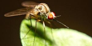 Zika Virüsüne Karşı Genetiği Değiştirilmiş Sivrisinekler Doğaya Salındı