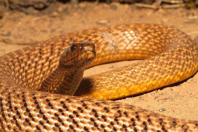 6. En zehirli olan İçbölge Taypanı'dır. Bir ısırmada salgıladığı zehirle 100 insanı ve 250.000 fareyi öldürebilir.