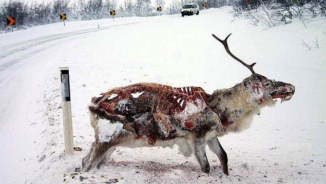 6. Donmuş ve yenmiş geyik.