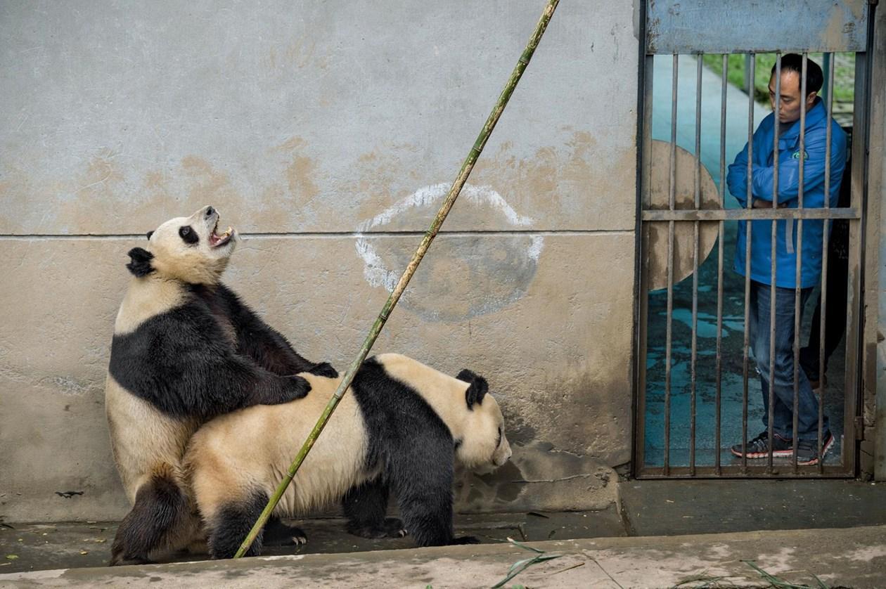 Себя, смешная картинка панда на ручках