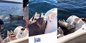 Katil Balinaya Yem Olmamak İçin Tekneye Sığınan Fok