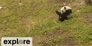 Ondan Mutlusu Yok! Çimenlerde Yuvarlanmaya Bayılan Bebek Panda