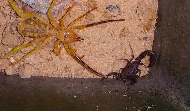farmapest kuş örümceği resimleri ile ilgili görsel sonucu