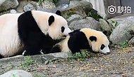Annesinin Banyo Israrlarından Kaçmaya Çalışan Aşırı Minnoş Yavru Panda