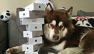 Olan Var Olmayan Var! Çinli Milyarderin Oğlu Köpeğine 8 Tane iPhone 7 Aldı