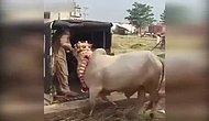 Hindistan'da Köyün Kutsal Sığırı Yaşlı Adamı Tek Harekette Öldürdü!