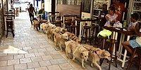 Bodrum'un Sokağa Atılan Köpeklerden Oluşan Golden Çetesi ve Liderleri Şenol Kaptan