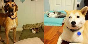 Ev Arkadaşı Olan Köpeklerin Yataklarına Fütursuzca Çöreklenmiş 21 Gamsız Kedi