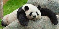 Dev Şirinlerin İşe Yaramaz Libidoları: Pandaların Cinsel İsteği Neden Böyle Az?