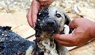 Asfalt Çalışmasının Yeni Tamamlandığı Yerde Zifte Gömülen Yavru Köpeğe Yardım Eli