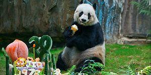 Dünyanın En Yaşlı Pandası 38 Yaşında Hayatını Kaybetti