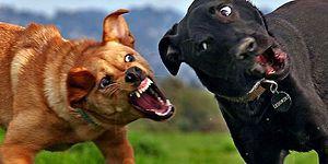 Köpekler Neden Otomobilleri Kovalar? Anlam Verilemeyen Âdetin Nedenini Bilim Açıklıyor