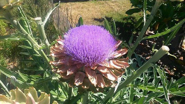 6. Hiç enginarı çiçek açmışken görmüş müydünüz? Artık gördünüz: