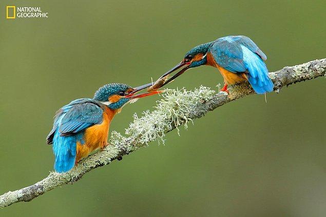 10. Hediye merasiminde yalıçapkını türü iki kuş.