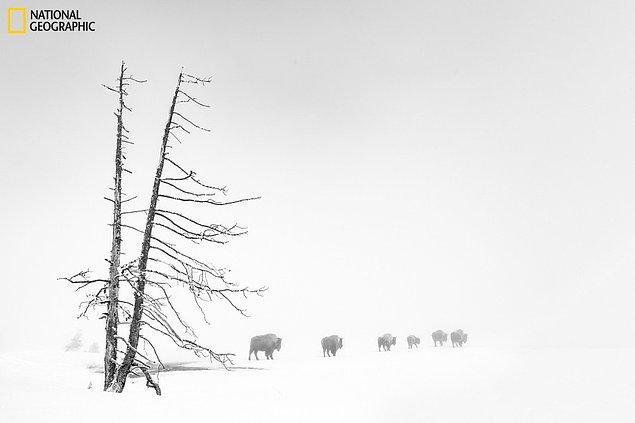 11. Ağır sis altında buffalolar, Yellowstone Ulusal Parkı, ABD.
