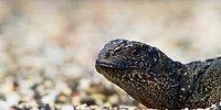 İguananın Yılanlardan Kaçtığı Gerilim Dolu Efsanevi Görüntülerin Kamera Arkası