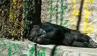 Arjantin'de Bir Hayvanat Bahçesinden Hakim Kararıyla Çıkartılan Şanslı Şempanze: Cecilia