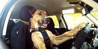 Dünya'nın İlk Otomobil Kullanan Köpeği Porter ile Tanışın!