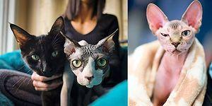 Sahibinin Tüysüz Diye Aldığı Sonra Sadece Tıraşlanmış Olduğu Ortaya Çıkan 700 Dolarlık Kedi