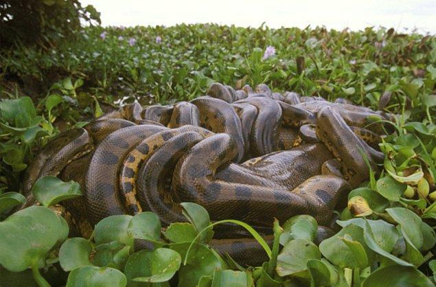 11. Birden fazla erkek, çiftleşme için 2-4 hafta boyunca dişiye sarılı kalıyor.