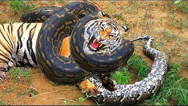 """1. """"Anaconda"""" ismi, """"fil katili"""" anlamına gelen, Tamilce bir kelime olan anaikolra'dan gelir."""