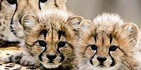 Onların da Nesli Tükeniyor: 'Dünyada Sadece 7 Bin Çita Kaldı'