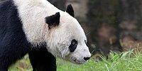 Dünyanın En Yaşlı Erkek Pandası 'Pan Pan' 31 Yaşında Öldü