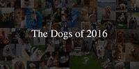 İzlemekten Büyük Keyif Aldığımız 2016'nın En Minnoş Köpekleri