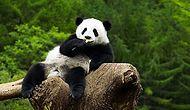 Panda Deyip Geçmemek Lazım! Hamilelik Numarasıyla Herkesi Kandıran Akıllı Panda