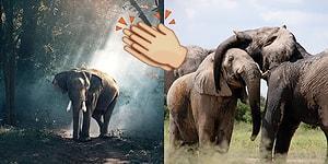 Çin'in Fil Dişi Satışını Yasaklamasıyla Dünyadaki Filleri Korumak Üzere Atılan Büyük Adım