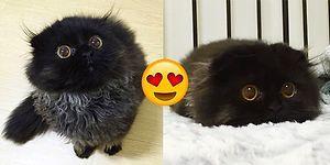 Karşınızda Büyüleyici Bakışlarıyla Görenleri Hipnotize Eden Şekerlik Kedi Gimo!😍