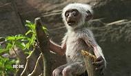 Oyuncak Maymunun Hareketsiz Kalmasına Üzülen Langur Maymunları