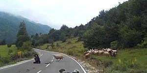 Sonunda Gerçekleşti: İsyan Edip Çobana Saldıran Koyunlar