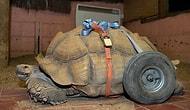Seks Yapmaktan Bacaklarını Sakatlayan Kaplumbağa Yaşamını Tekerlekli Olarak Sürdürüyor!