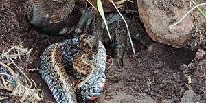 Öldürdüğü Yılanı Sıvılaştırarak Yiyen Ürkütücü Bir Katil: Tarantula