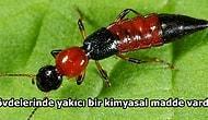 Sabah Uyandığınızda Vücudunuzdaki 'Gece Yanıklarına' Sebep Olan İllet Bir Böcek: Paederus