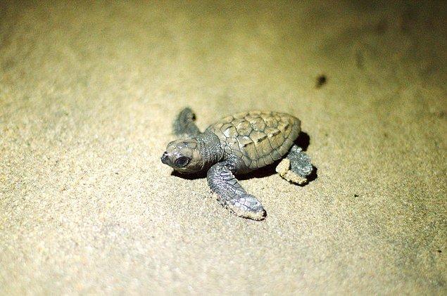 Gözlemlenen bir diğer deniz canlısı ise deniz kaplumbağaları.