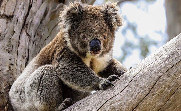 Koala çıktı!