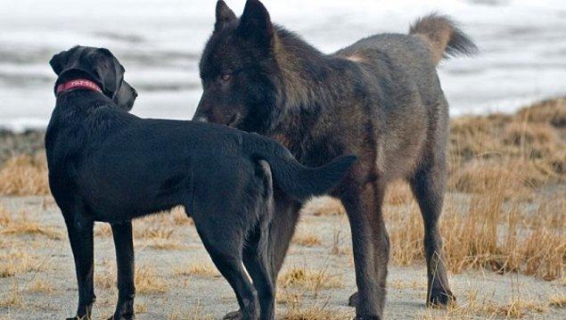 Kurt, saldırmak yerine köpek ile önce tanıştı daha sonra birlikte oyun oynamaya başladılar. Tam o sırada Jans fotoğraflarını çekmeye başladı.