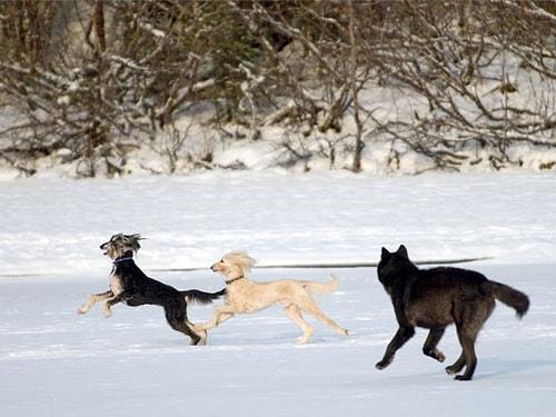 Evcil Bir Köpek ile Vahşi Bir Kurt Karşı Karşıya Gelirse Ne Olur