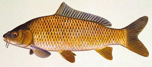 1. Sazan Balığı