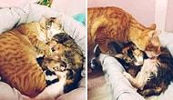 Doğum Yapmakta Olan Dişisinin Yanından Bir An Bile Ayrılmayan Minnoş Kedi Babası: Yello