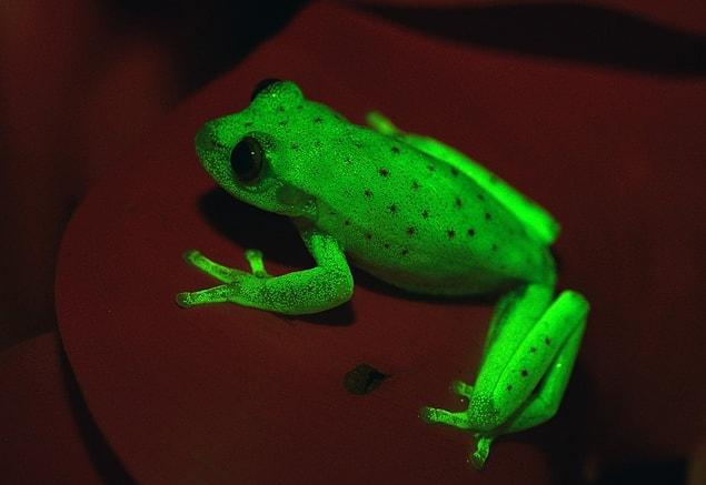 Güney Amerika benekli ağaç kurbağası (Hypsiboas punctatus) Dünya üzerinde bulunan ilk floresan amfibiyen olarak literatüre geçti.